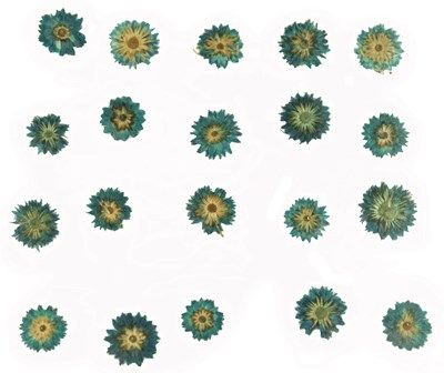 Pressed flowers blue apricot blossom 20pcs for floral art, jewellery making