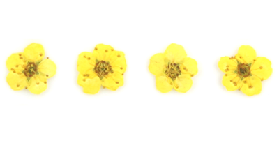 Pressed flowers, light yellow bridal wreath 20pcs floral nail art, resin craft