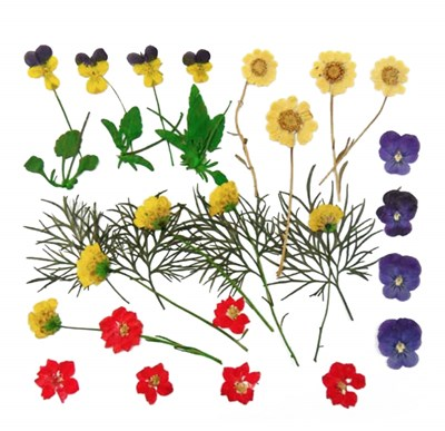 Pressed flowers cosmos lace flower forget me not star flower verbena lobelia