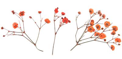 Pressed flowers, orange gypsophila baby's breath 20pcs floral art, craft