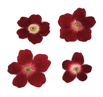Pressed flower, dark red Verbena 20pcs. floral art craft