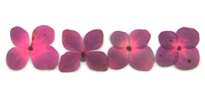Pressed flowers, mauve hydrangea 20pcs floral art resin craft