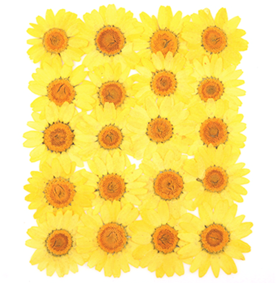 Pressed flowers, light yellow marguerite daisy 20pcs floral art, craft