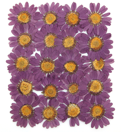 pressed flowers, light purple marguerite 20pcs floral art resin craft