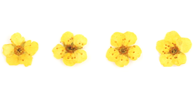 Pressed flowers, yellow bridal wreath 20pcs floral art resin craft nail art
