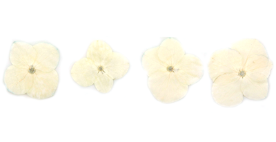 Pressed flowers, white hydrangea 20pcs floral art, resin craft, card making