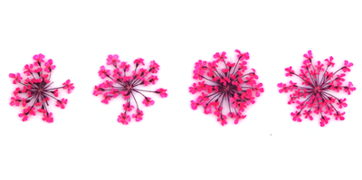 Pressed flowers, pink lace flower 20pcs for floral art, craft, card making