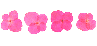 Pressed flowers, fluorescent pink hydrangea 20pcs floral art resin craft