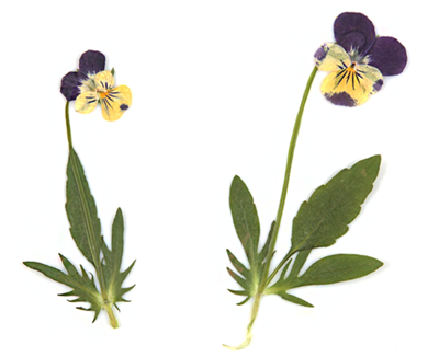 Pressed flowers yellow pansy on stalk with leaves 20pcs floral art resin craft