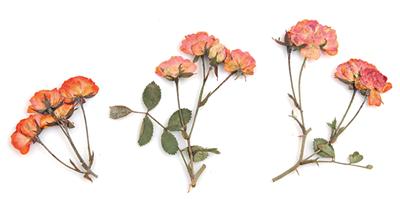 Pressed flowers, orange roses leaves on stalk 20pcs floral art, resin craft