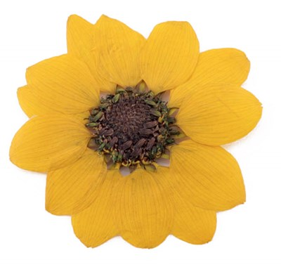 Pressed flowers, Yellow miniature Sunflower on stalk 10pcs floral art craft