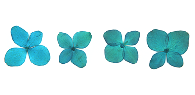 Pressed flowers, turquoise hydrangea 20pcs floral art, resin craft