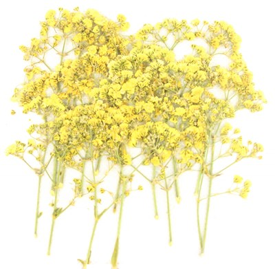 Pressed flowers, yellow baby breath 20pcs for art craft, card making