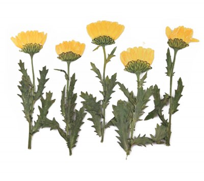 Pressed flowers, Yellow Chrysanthemum with stalk leaves 20pcs