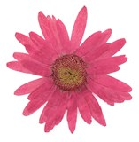 Pressed flowers, large pink daisy 10pcs floral art, craft