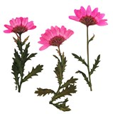 Pressed flowers, pink chrysanthemum 20pcs floral art, craft, scrapbooking