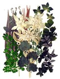 Pressed flowers mixed, edelweiss, various green foliage