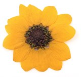 Pressed flowers, yellow miniature sunflower 10pcs floral art, craft