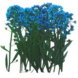 Pressed flowers, blue alyssum 20pcs floral art craft card making scrapbooking