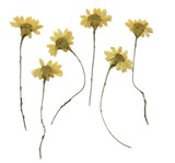 Pressed flowers, camomile 20pcs floral art, craft