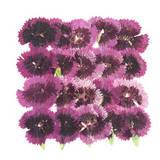 Pressed flowers, China pink 20pcs, Dianthus Chinensis