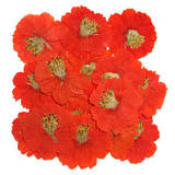 Pressed flowers, orange cosmos 20pcs, floral art, craft, card making