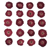 Pressed flowers, dark red roses 20pcs floral art craft