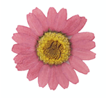 Pressed flowers, dust pink marguerite daisy 20pcs floral art, craft