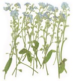 Pressed flowers, Forget me not on stalk 20pcs for floral art, craft