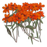 Pressed flowers, orange zinnia 20pcs for floral art, craft, card making