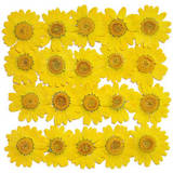 Pressed real dry flowers, yellow marguerite 20pcs floral art craft