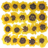 Pressed flowers, garden tickseeds, golden tickseeds 20pcs
