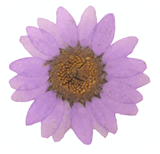 Pressed flowers, lilac marguerite daisy 20pcs floral art, resin craft
