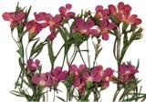 Pressed flowers, mauve lobelia 20pcs floral art craft
