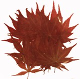 Pressed maple leaves 20pcs for art craft card making scrapbooking material