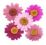 Pressed flowers, mixed marguerite 50pcs in 5 colors, floral art, craft