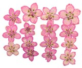 Pressed flowers, pink marsh grass of Parnassus 15pcs floral art craft