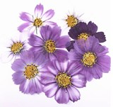 Pressed flowers, mixed purple cosmos 20pcs floral art, craft