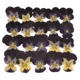 Pressed real dried flowers, 20pcs, dark purple pansy