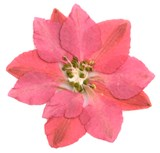 Pressed real dried flower pack, pink delphinium 20pcs