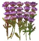 Pressed flowers, dark purple chrysanthemum with stalk and leaves 20pcs