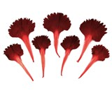 Pressed flowers, red carnation petals 20pcs floral art, craft