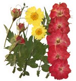 Pressed flowers, roses, rose buds, daisy, rose leaves mixed pack