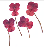 Pressed flowers, mauve pansy on stalk 20pcs floral art, craft