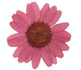 Pressed flowers, dust pink chrysanthemum 20pcs floral art, craft