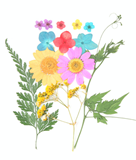 Pressed flowers, marguerite, bridal wreath, hydrangea, baby's breath, foliage