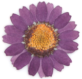 pressed flowers, light purple marguerite 20pcs floral art resin craft