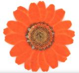 Pressed flowers dark orange marguerite  20pcs