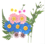 Pressed flowers, marguerite daisy fleabane bridal wreath foliage