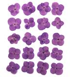 Pressed flowers, purple hydrangea 20pcs floral art, resin craft, card making